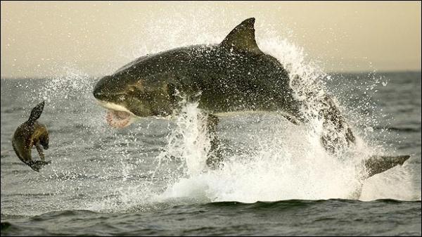 shark05