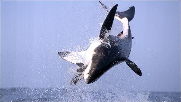 shark07