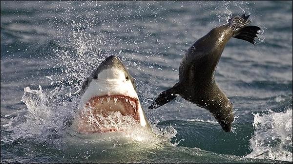 shark09