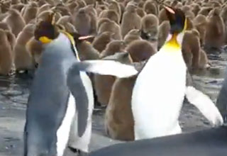 penguin [Video] King Penguin Slaps Friends Funny Picture