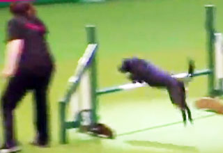 doggy [Video] Animal Instincts Take Over At Crufts Dog Show Funny Picture
