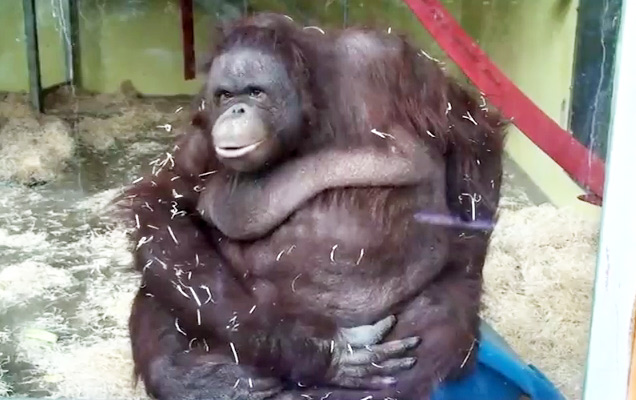 monkey [Video] Fat Orangutan Takes a Spill Funny Picture