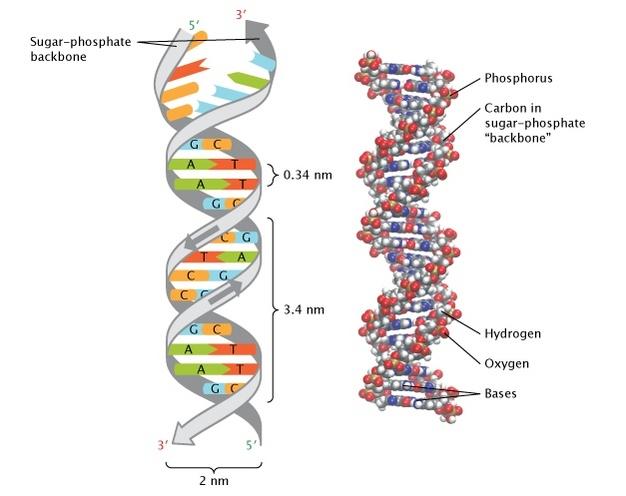 LSDNA - DNA explained thanks to LSD