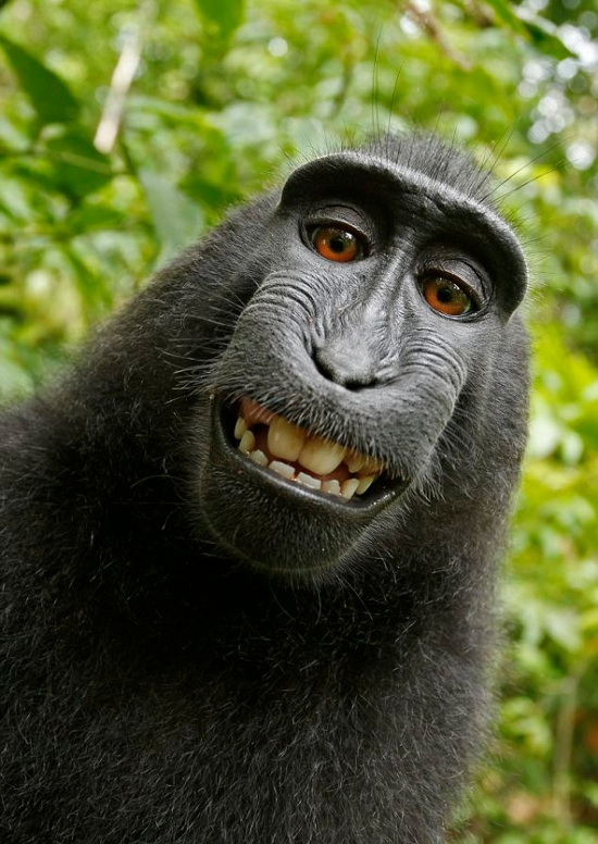 http://media.ebaumsworld.com/files/contest/Macaque-Monkey_selfie.jpg